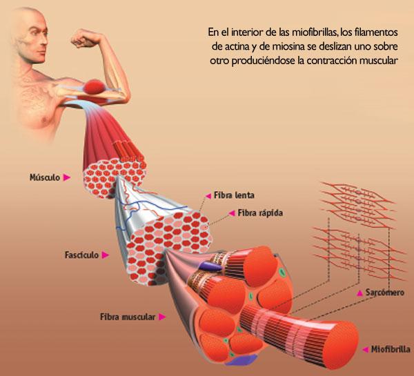Bildergebnis für Innervation & sup3; n Muskelspindeln